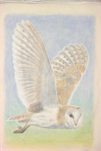 Barn Owl in flight